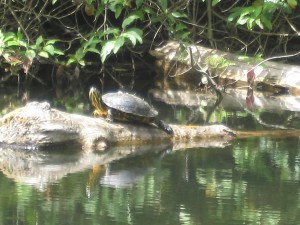 Western Painted Turtle at Durrance Lake in Saanich, Victoria BC. Photograph by Carly Macoun.