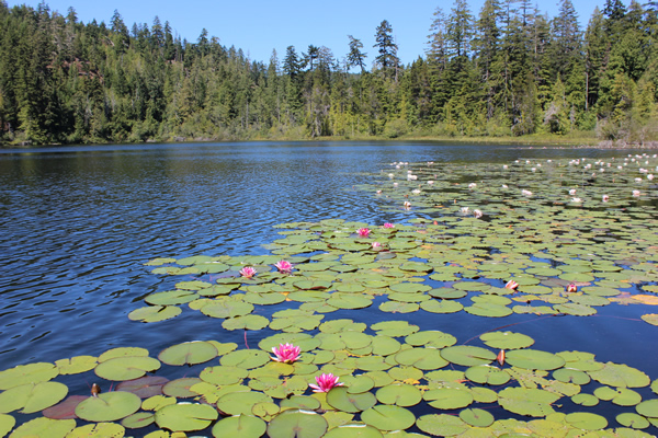 Pink lily pads at Crabapple Lake in Sooke. Photograph by Adam Ungstad.